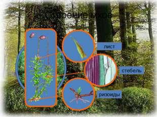 Строение мхов лист стебель ризоиды