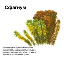 Болотный мох сфагнум способен накапливать иудерживать большие количества вод