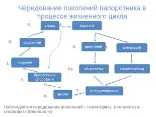 Чередование поколений папоротника в процессе жизненного цикла 3. 4. 2. 5. 6.