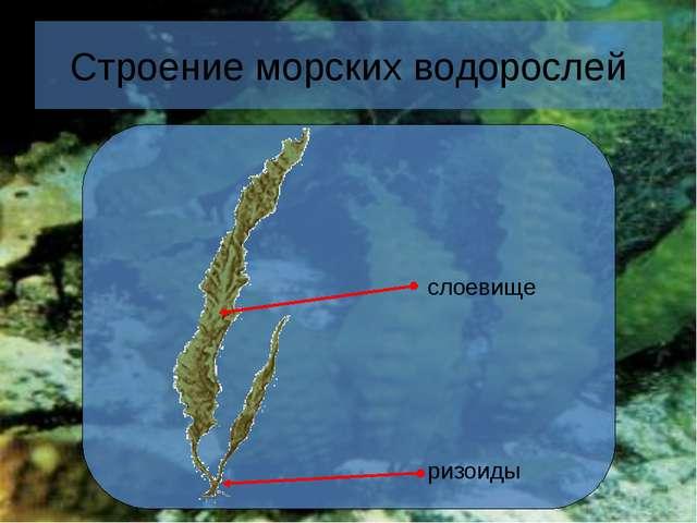 * Строение морских водорослей