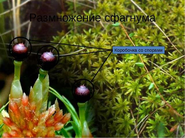 Размножение сфагнума