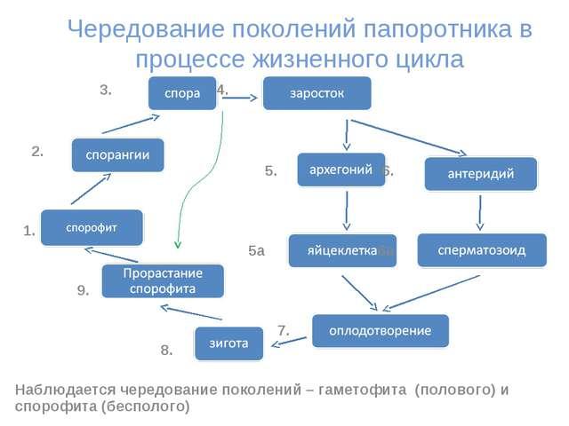 Чередование поколений папоротника в процессе жизненного цикла 3. 4. 2. 5. 6....