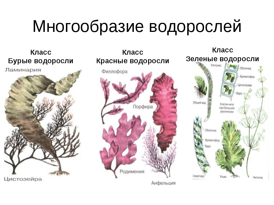 Многообразие водорослей Класс Бурые водоросли Класс Красные водоросли Класс З...