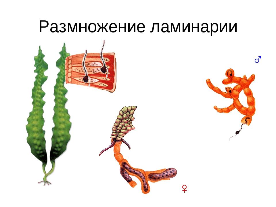 Размножение ламинарии ♂ ♀