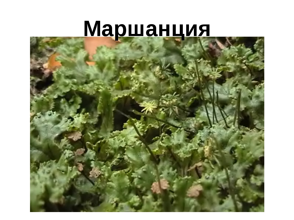 Маршанция