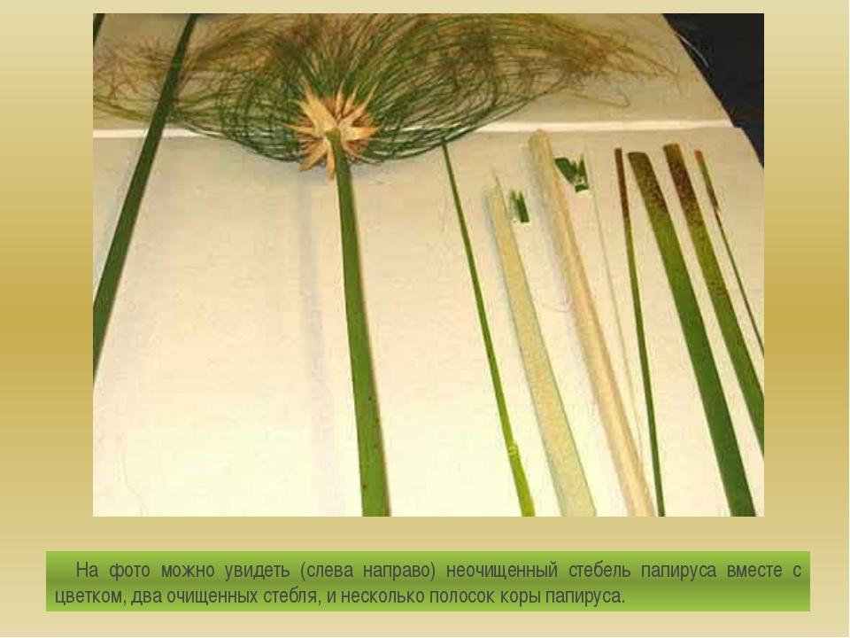 На фото можно увидеть (слева направо) неочищенный стебель папируса вместе с...