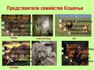 Представители семейства Кошачьи гепард лев леопард снежный барс