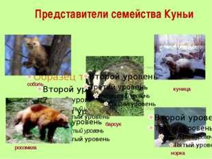 Представители семейства Куньи соболь куница норка росомаха барсук