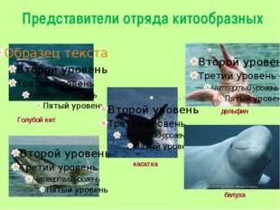 Представители отряда китообразных дельфин белуха касатка Голубой кит