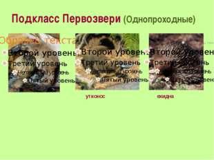 Подкласс Первозвери (Однопроходные) утконос ехидна
