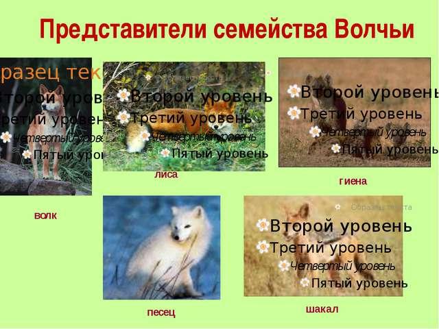 Представители семейства Волчьи волк лиса песец гиена шакал