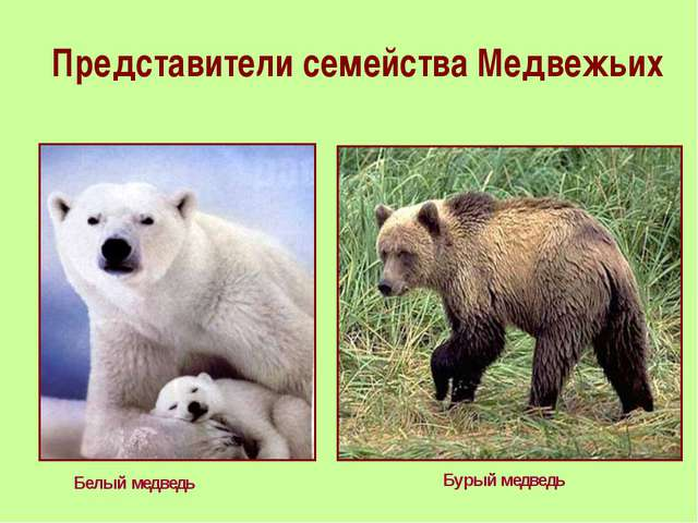 Представители семейства Медвежьих Белый медведь Бурый медведь