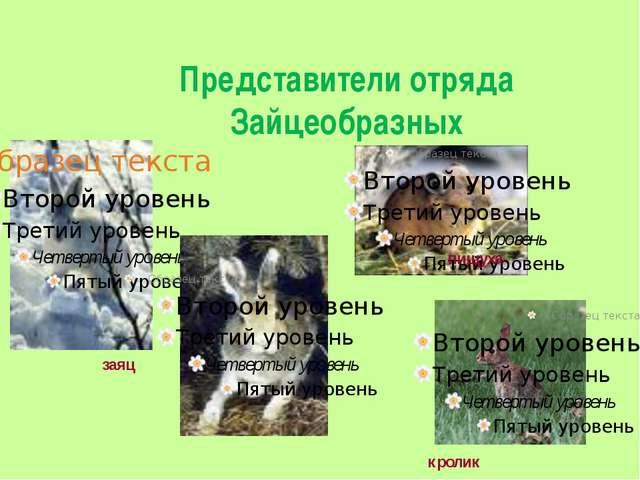 Представители отряда Зайцеобразных пищуха заяц кролик