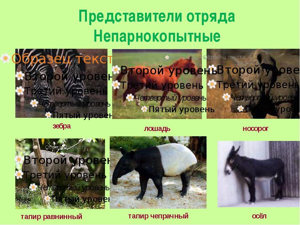 Представители отряда Непарнокопытные тапир чепрачный тапир равнинный осёл зеб...