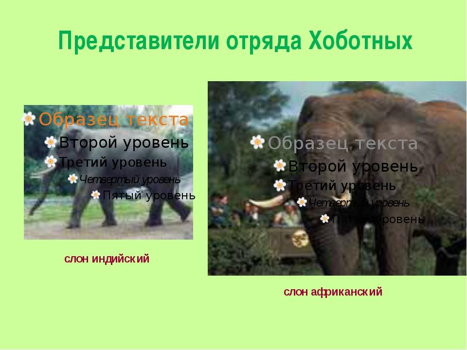 Представители отряда Хоботных слон индийский слон африканский
