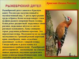 Красная Книга России Рыжебрюхий дятел занесен в Красную книгу России как мало