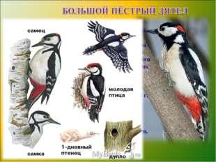 Большой пестрый дятел — полезная птица. Накрылебольшоебелоепятно,спинач