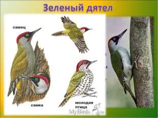 Оседлая птица семейства дятловых. Оперение верхней части туловища и крыльев о