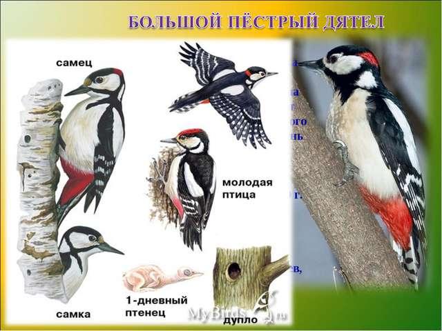 Большой пестрый дятел — полезная птица. Накрылебольшоебелоепятно,спинач...