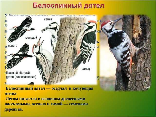 У белоспинного дятла нижняя часть спины и надхвостье белые, крыло без большог...