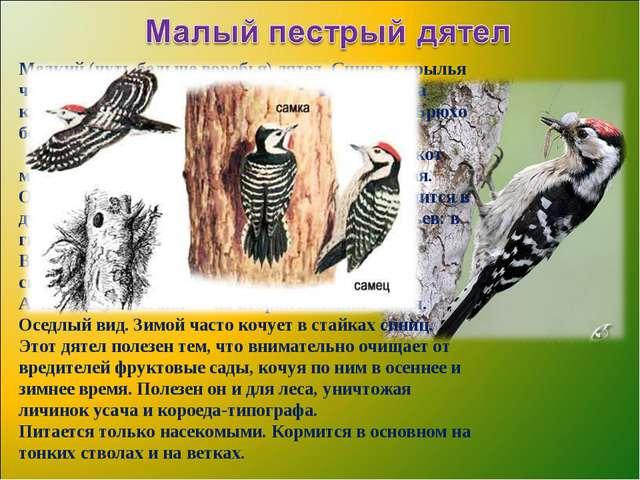Мелкий (чуть большеворобья) дятел. Спина и крылья черные с белыми полосками,...