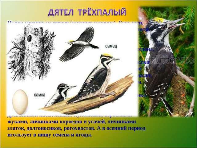 Птица средних размеров (крупнее скворца). Верх шеи, спина, крылья, хвост и пя...