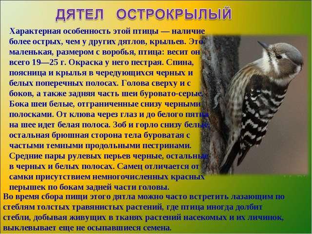Птица Дятел Краткое Описание