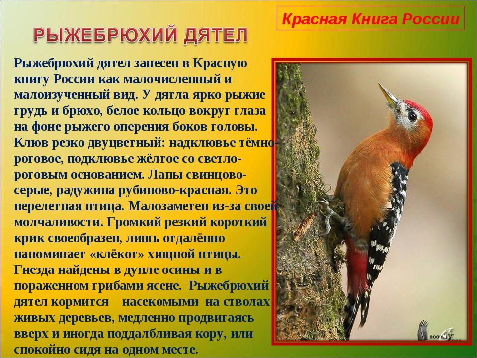 Красная Книга России Рыжебрюхий дятел занесен в Красную книгу России как мало...