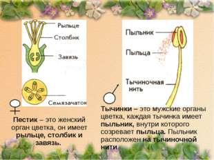 Пестик – это женский орган цветка, он имеет рыльце, столбик и завязь. Тычинки