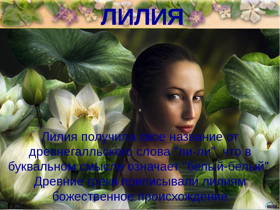 """ЛИЛИЯ Лилия получила свое название от древнегалльского слова """"ли-ли"""", что в б..."""