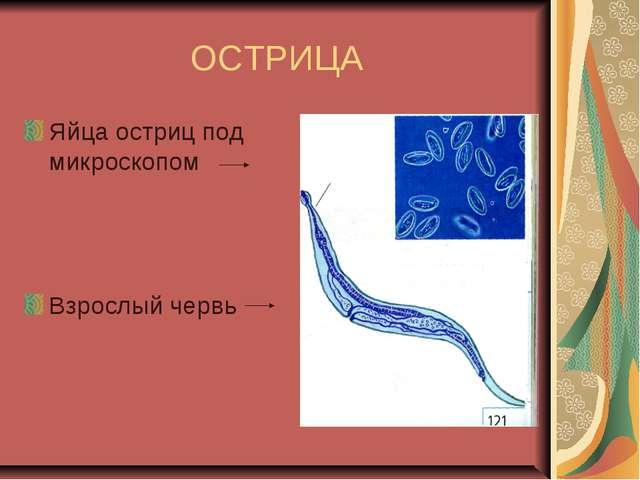 ОСТРИЦА Яйца остриц под микроскопом Взрослый червь