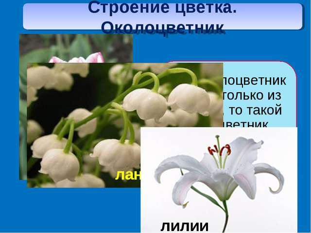 простым Строение цветка. Околоцветник
