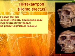 Питекантроп (Homo erectus) Рост около 160 см; Массивная челюсть, подбородочны