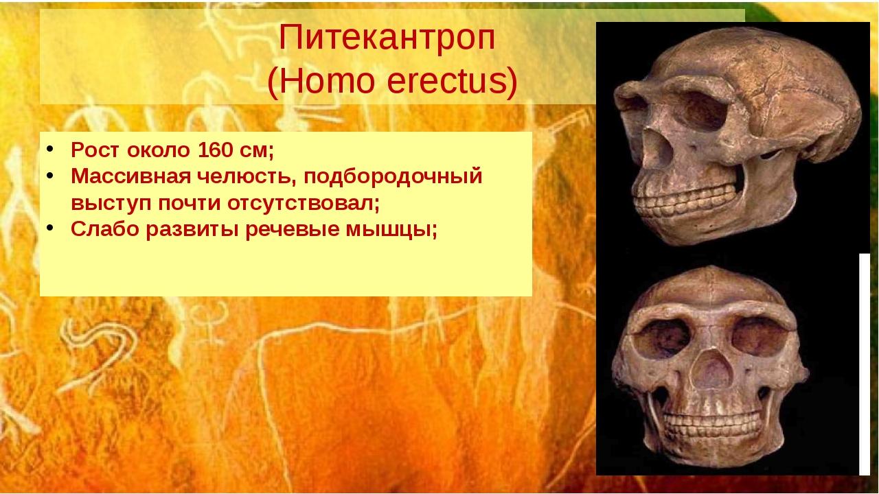 Питекантроп (Homo erectus) Рост около 160 см; Массивная челюсть, подбородочны...