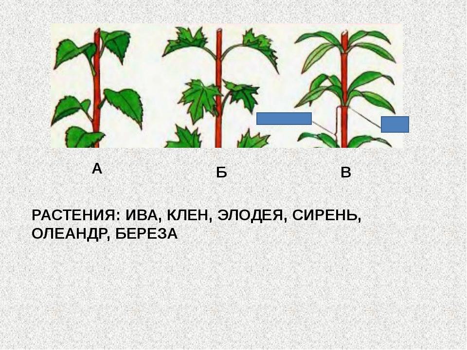 А Б В РАСТЕНИЯ: ИВА, КЛЕН, ЭЛОДЕЯ, СИРЕНЬ, ОЛЕАНДР, БЕРЕЗА