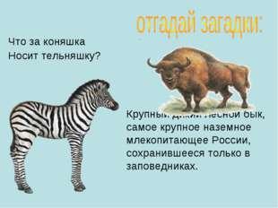 Что за коняшка Носит тельняшку? Крупный дикий лесной бык, самое крупное назем
