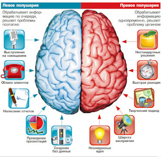 полушария мозга.jpeg
