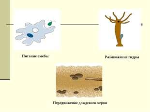 Питание амебы Передвижение дождевого червя Размножение гидры