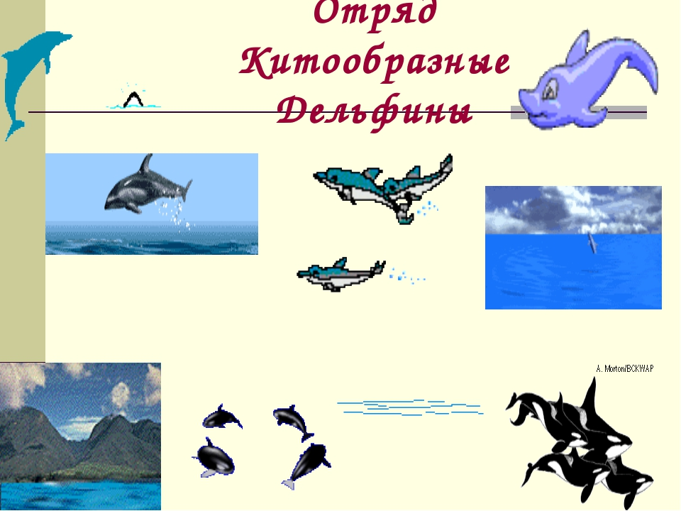 Отряд Китообразные Дельфины