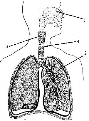 Дочери день, картинка без подписей органы дыхания 4 класс