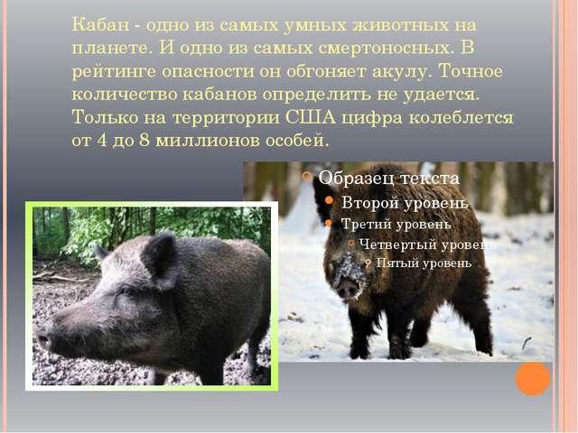 Кабан - одно из самых умных животных на планете. И одно из самых смертоносных...