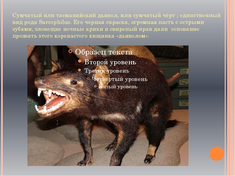 Сумчатый или тасманийский дьявол, или сумчатый чёрт ; единственный вид рода S...