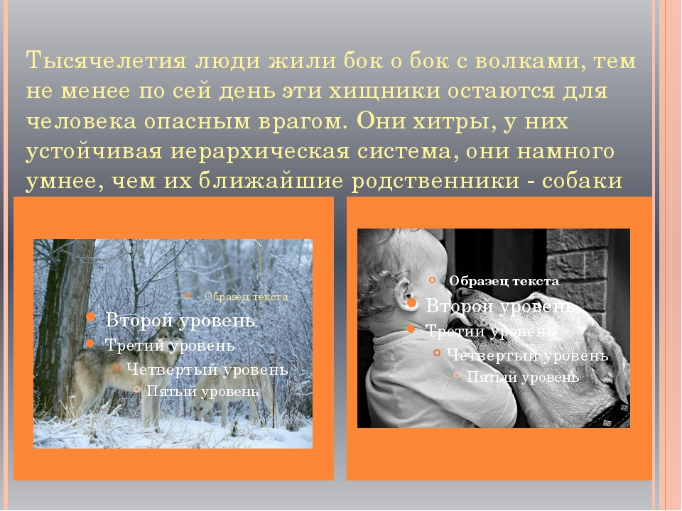 Тысячелетия люди жили бок о бок с волками, тем не менее по сей день эти хищн...