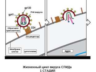 Вирус связывается с рецептором CD- 4 и корецептором на Мембране клетки (напри