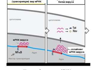 Вир мРНК претерпевает сплайсинг и образуется несколько молекул и-РНК, с котор