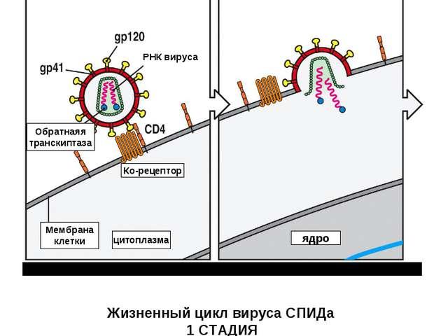Вирус связывается с рецептором CD- 4 и корецептором на Мембране клетки (напри...