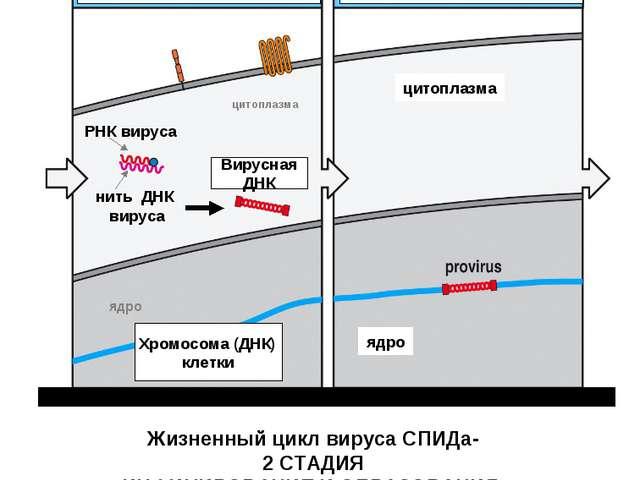 Вирусный фермент – обратная транкриптаза копирует на вирусной РНК коплементар...
