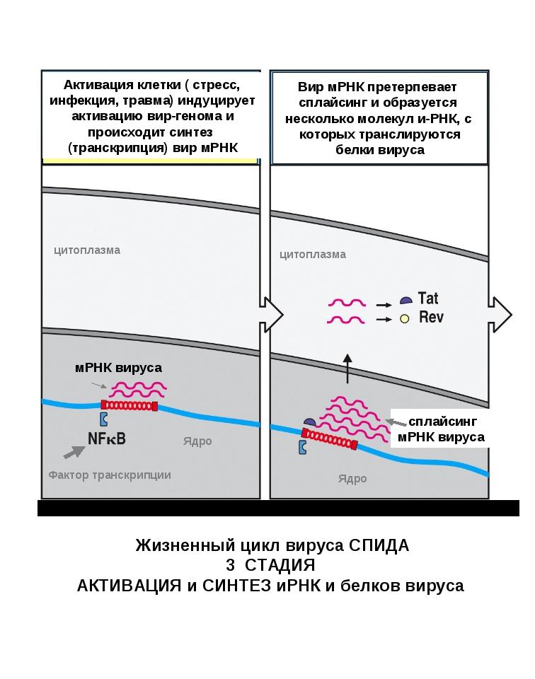 Вир мРНК претерпевает сплайсинг и образуется несколько молекул и-РНК, с котор...