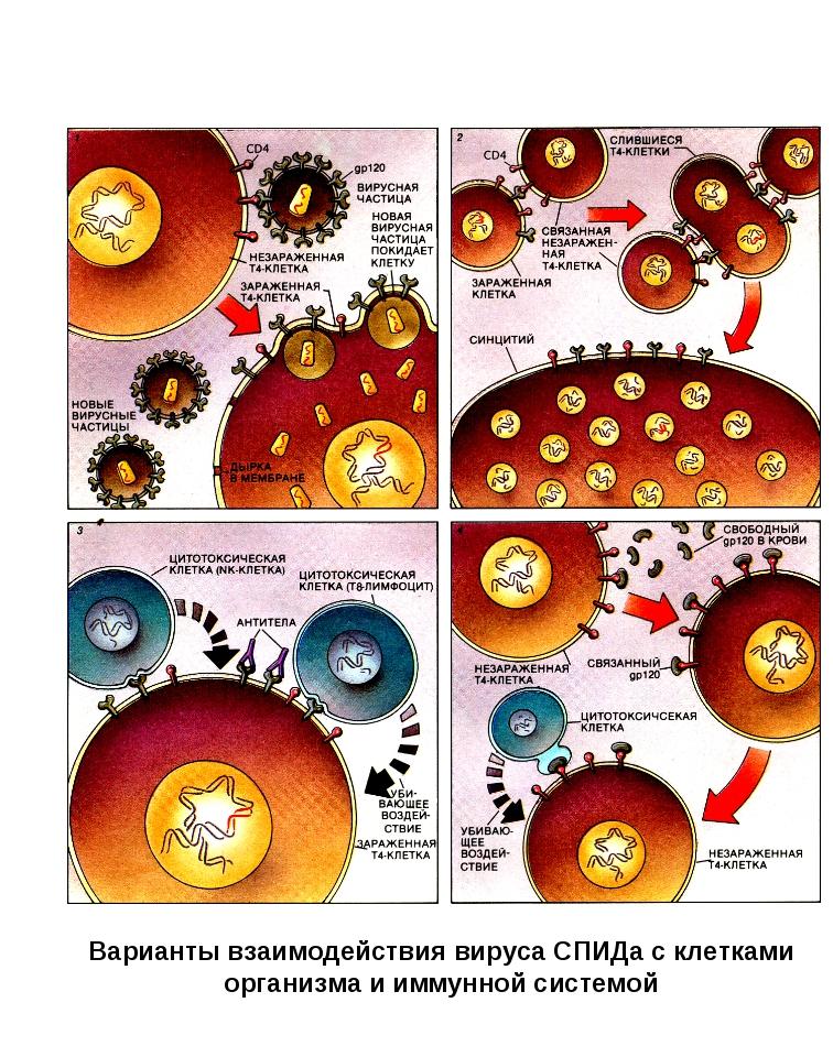 Варианты взаимодействия вируса СПИДа с клетками организма и иммунной системой