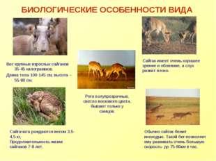 БИОЛОГИЧЕСКИЕ ОСОБЕННОСТИ ВИДА Вес крупных взрослых сайгаков 35-45 килограммо